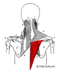 Lower trapezius