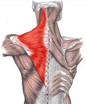 Trapezius and neck pain