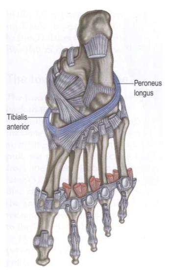 Credit to Anatomy Trains and Tom Myers (www.anatomytrains.com)
