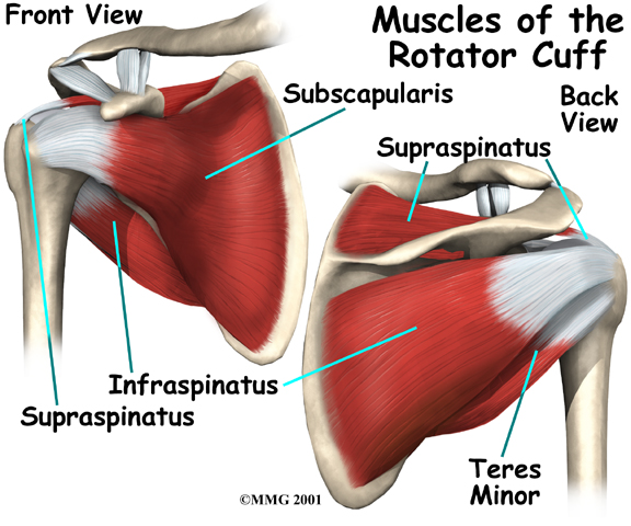 The rotator cuff is not a muscle | b-reddy.org