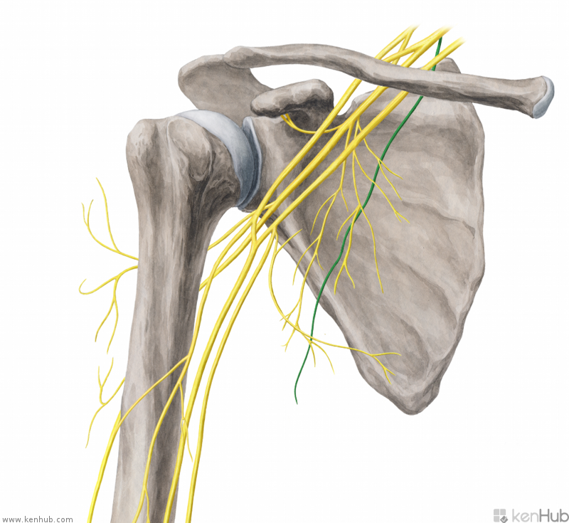 Musings on scapular winging: Anatomy (muscular and nerve ...