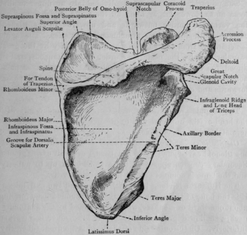 Musings On Scapular Winging: Anatomy (muscular And Nerve