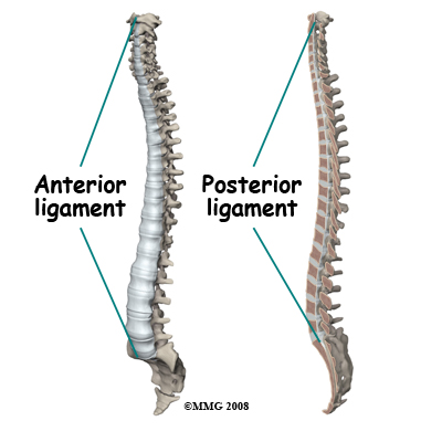 anterior and posterior longitudinal ligament | b-reddy.org