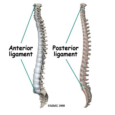 anterior and posterior longitudinal ligament breddyorg