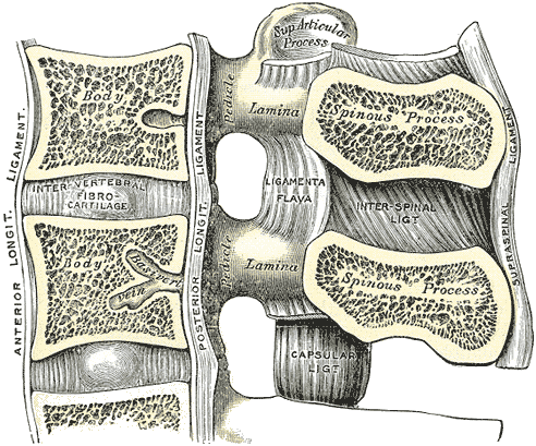 Posterior and anterior longitudinal ligament close up side