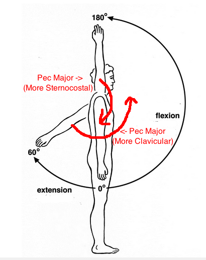 Humeral flexion and extension with pec major text