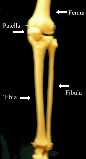 tibia fibula basic