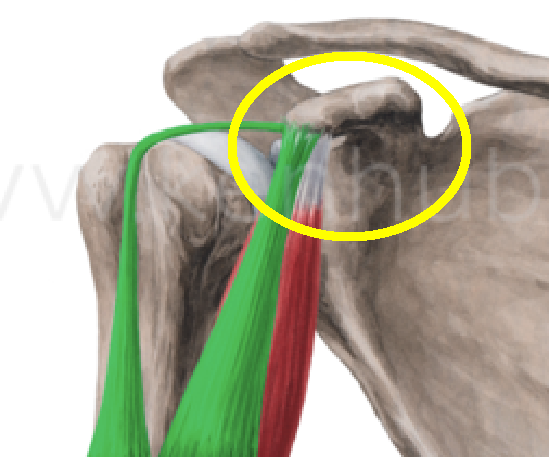 Biceps Brachii Close Up Attachments with circle