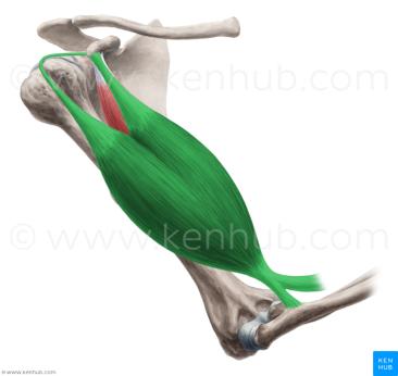 Biceps Brachii Kenhub close up
