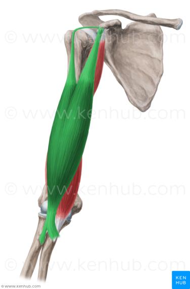 Biceps Brachii Kenhub