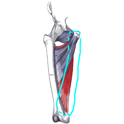 Adductor Magnus front view with hamstring circle