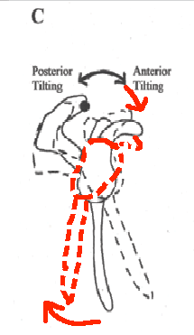When superior aspect of scapula tilts forward, inferior aspect tilts backward. (Red lines. Some removed for clarity.)