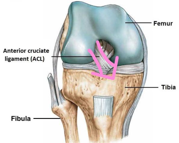 ACL anatomy with fibula and arrow