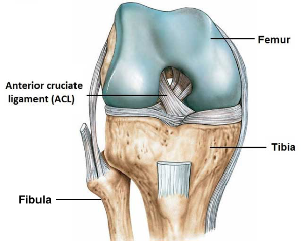 ACL anatomy with fibula