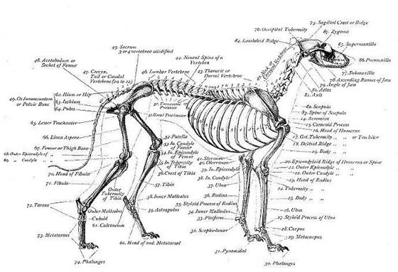 https://markasmithoca.files.wordpress.com/2013/09/skeletal-structure-of-a-greyhound.jpg