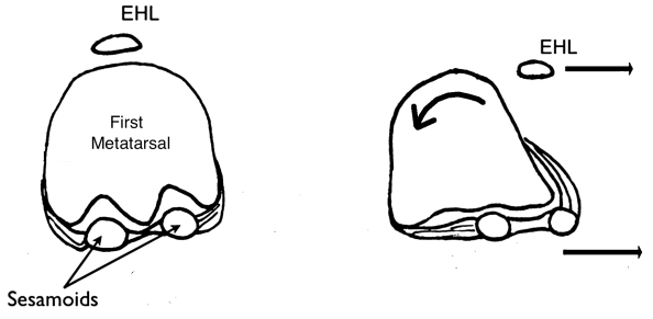 sesamoid-bones-anteroposterior-view-with-movement